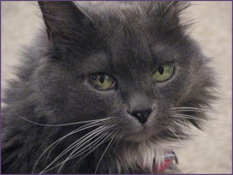 closeup of grey fluffy cat face
