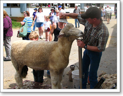 Sheepie gets the final touches on the hairdo