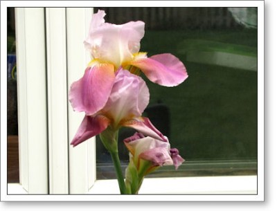 lavender iris in front of the window