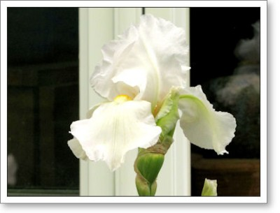 white iris in front of the window