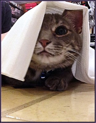 Clyde the grey tabby peeking out from under a sheet